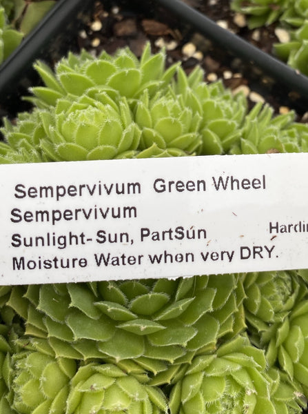 SEMPERVIVUM GREEN WHEEL (HENS AND CHICKS)