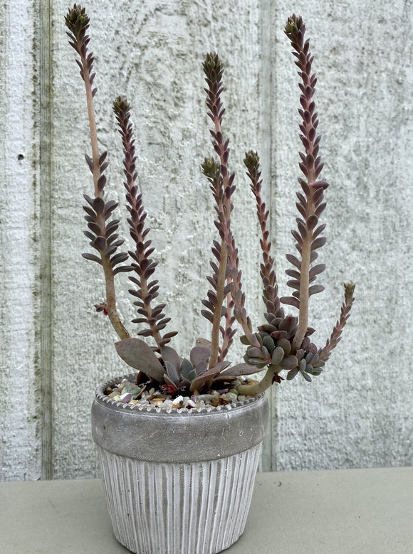 POTTED SUCCULENT, CUPCAKE POT