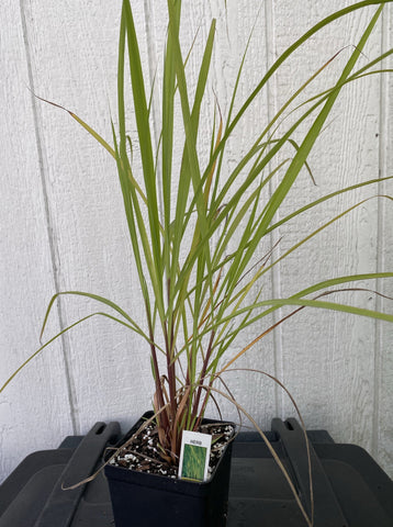 LEMONGRASS (CITRONELLA GRASS)