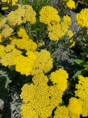 ACHILLEA, MOONSHINE (YARROW)