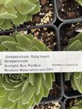 SEMPERVIVUM RUBY HEART (HENS AND CHICKS)