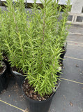 ROSEMARY, BARBEQUE