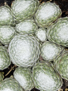 SEMPERVIVUM COBWEB BUTTONS (HENS AND CHICKS)