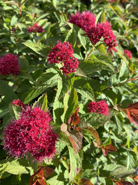 SPIRAEA, DOUBLE PLAY DOOZIE