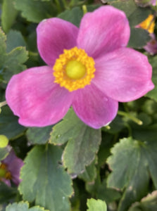 ANEMONE, PRETTY LADY DIANA (WINDFLOWER)