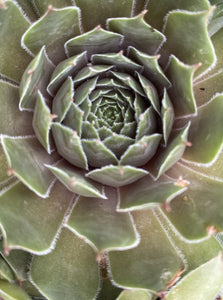 SEMPERVIVUM LAVENDER AND OLD LACE (HENS AND CHICKS)