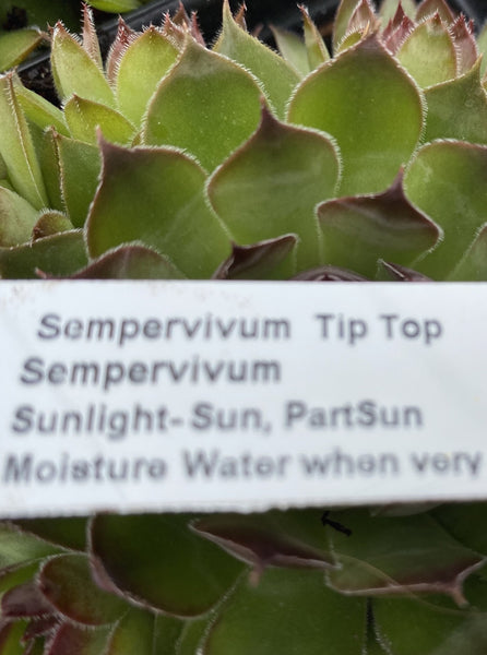 SEMPERVIVUM TIP TOP (HENS AND CHICKS)