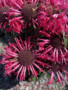 MONARDA, RED ROSE (BEE BALM)