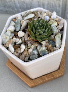 POTTED SUCCULENT, HEXAGON