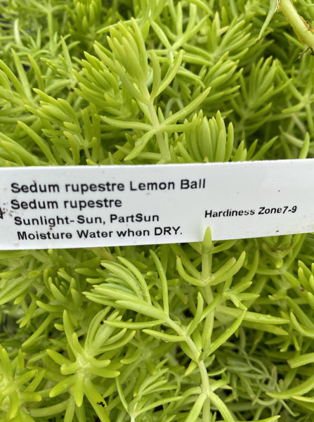 SEDUM, RUPESTRE LEMON BALL