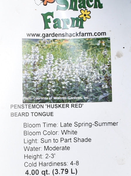 PENSTEMON, HUSKER RED (BEARD TONGUE)