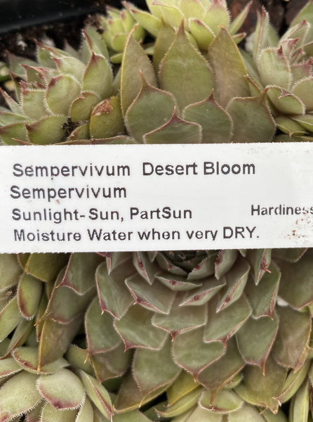 SEMPERVIVUM DESERT BLOOM (HENS AND CHICKS)