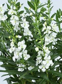 ANGELONIA, ALONIA BIG SNOW