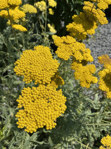 ACHILLEA, CORONATION GOLD (YARROW)