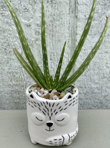 POTTED SUCCULENT, SMALL FOX
