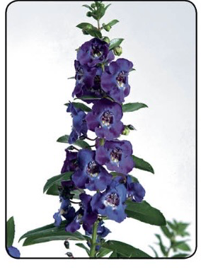ANGELONIA, ALONIA BIG BLUE