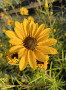 HELIANTHUS SALICIFOLIUS, FIRST LIGHT (SWAMP SUNFLOWER)