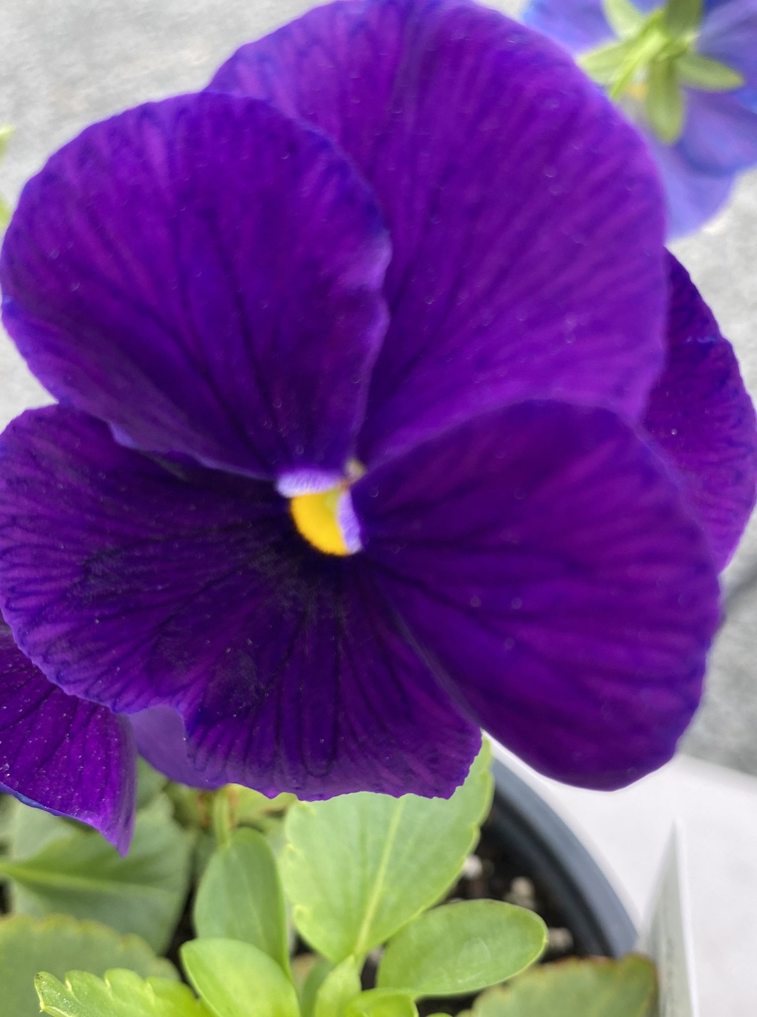 PANSY, MATRIX PURPLE