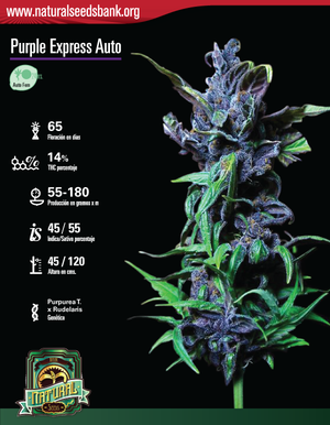 Purple Express Auto, 3 SEMILLAS