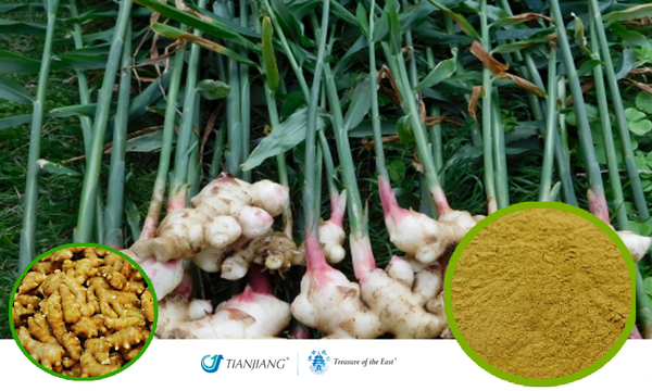 Sheng Jiang 6:1 - 生姜 - Ginger Full-Spectrum Extract Powder (1KG/2.2 LBS/FOIL BAG)