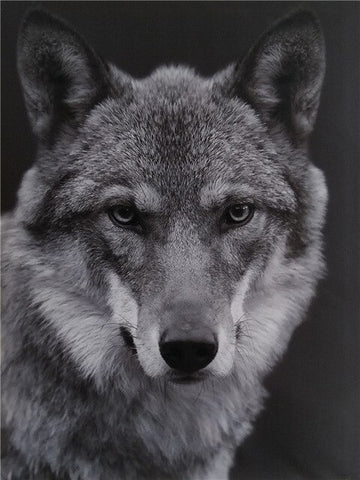 Wolf Black And White- Animals Paint By Numbers