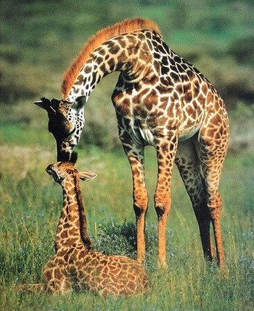 Giraffe Mother and Her Baby- Animals Paint By Numbers
