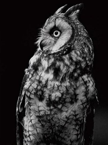 Black and White Owl- Birds Paint By Numbers