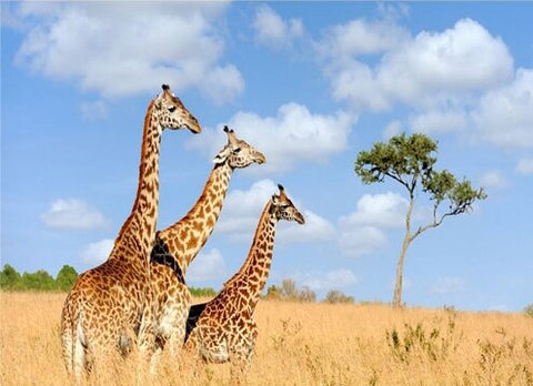 Giraffe Safari - Animals Paint By Numbers