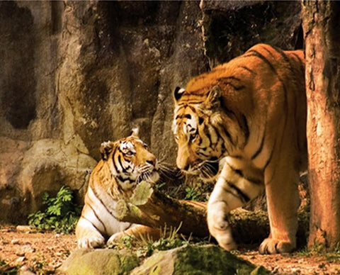 Tiger Couple in Their House- Animals Paint By Numbers