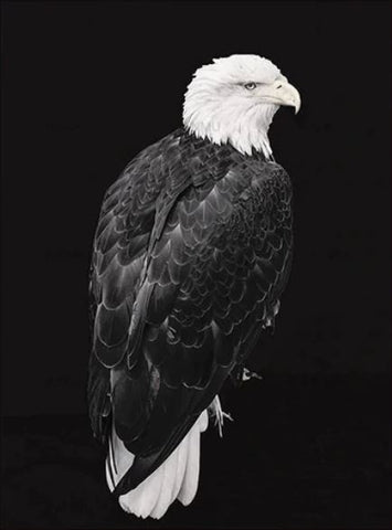 Classic Bald Eagle - Birds Paint By Numbers