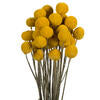 Yellow Billy Buttons Stem Bundle