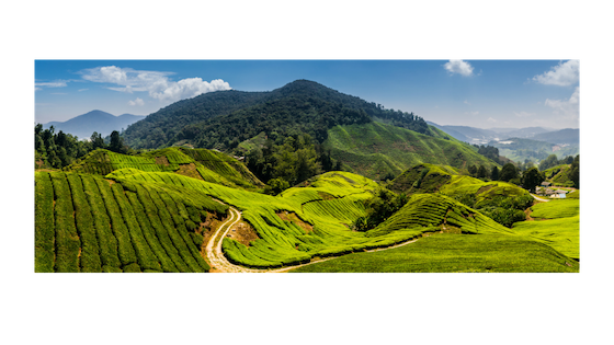 Making a difference with eco-friendly tea production
