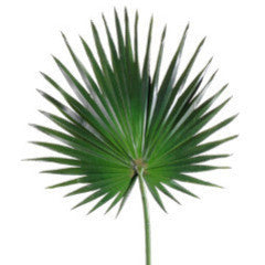 Fan Palm Spray
