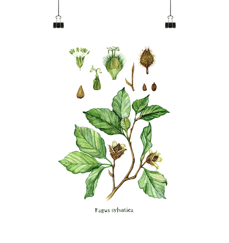 Rotbuche - Fagus sylvatica - Illustration - Poster Medium (A2+)