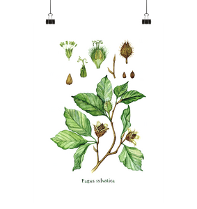 Rotbuche - Fagus sylvatica - Illustration - Poster Small (A3+)