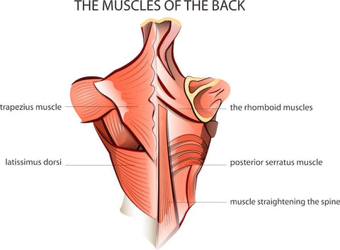 XCD Nutrition back muscle chart