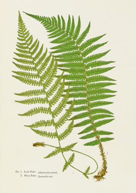 Ferns Card