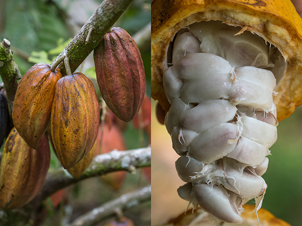 Cacao or Cocoa? What's the Difference?