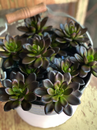 Faux Star Chick Succulent (2 sizes)