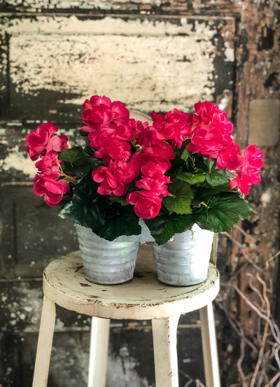 The Charlotte Hot Pink Begonia Potted Plant