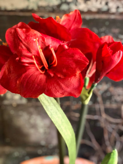 Red Amaryllis Faux Potted Botanical, ready to ship, Christmas decor, winter decor, gift for her, holiday decor, christmas centerpiece,