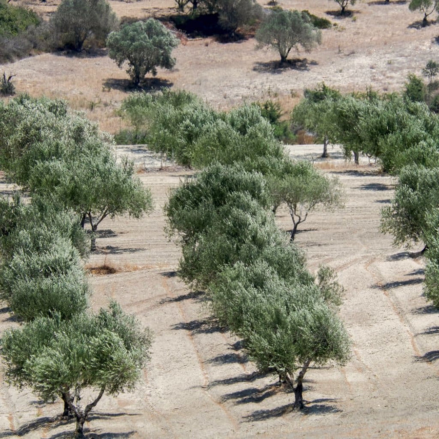 A Chai Garden Of Eighteen Trees - Trees For The Holy Land