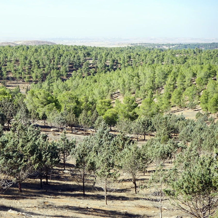 A Circle Of Five Trees - Trees For The Holy Land