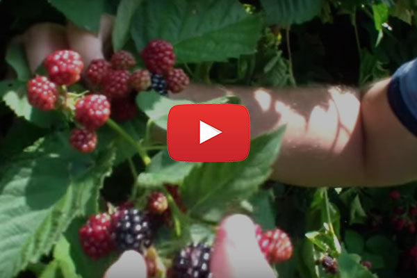 Produce Geek - Blackberries, ripe or not?