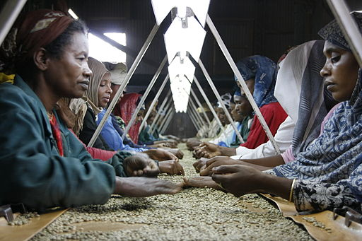 Hand Sorting Coffee in Ethiopia