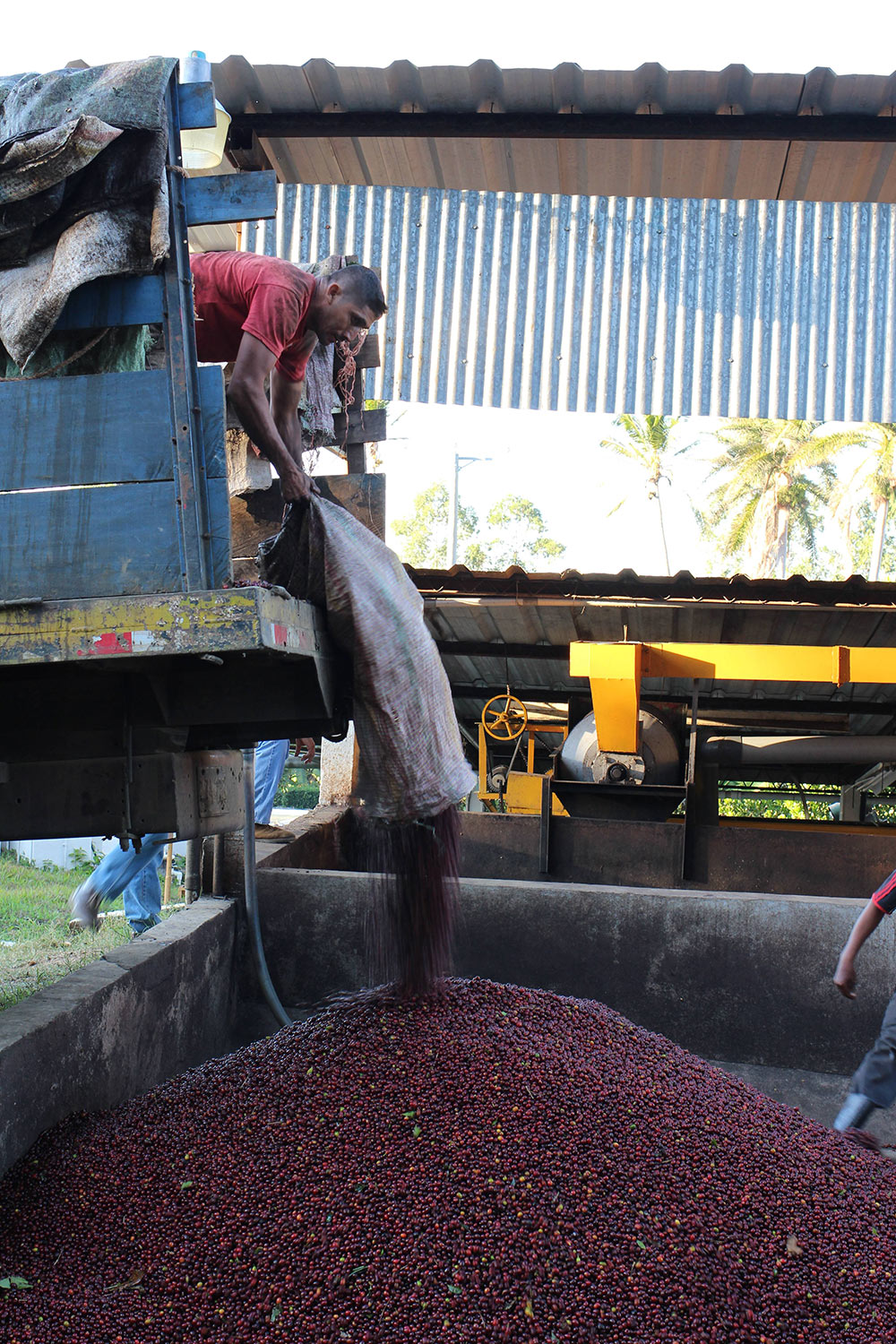 Only the ripest coffee cherries are brought in to the mill, ensuring uniformity in the cup.