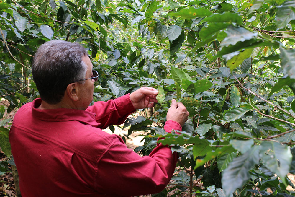 Miguel Menendez Sr examines coffee plants showing the earliest stages of Roya infection.