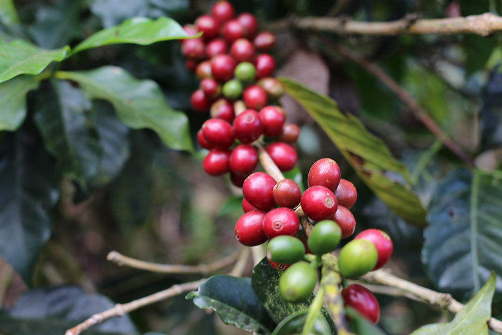 The branch of a Pacamara plant ready for harvest.