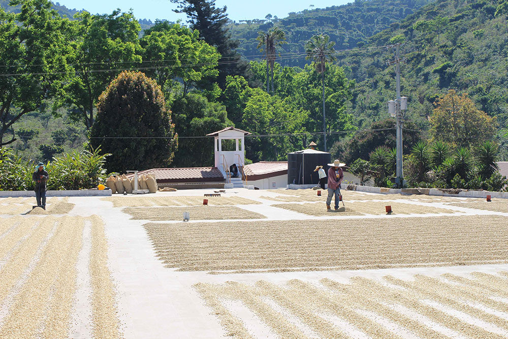 Microlots drying on the upper patios at El Manzano.