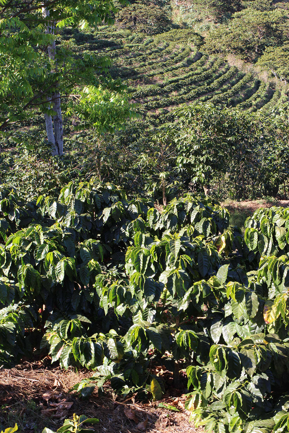Pacamara coffee at Finca El Manzano planted without shade trees.